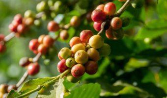 Coffee Cherries Growing