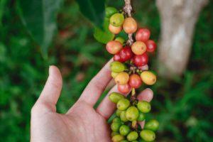 Coffee Cherries from Hula Daddy Kona Coffee Holualoa United States