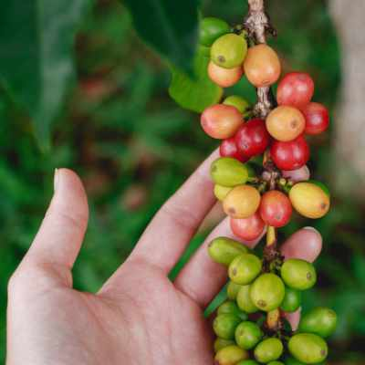 Some coffee cherries on the coffee plant